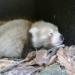 Kleines Panda-Glück im Zoo: Nachwuchs bei den Roten Pandas
