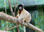 Jao bringt Schwung in die Lemuren-WG – Neuer Kronensifaka im Zoo eingezogen