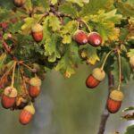 Von klein auf gerüstet für den Wald von morgen - Eichen zur Saatguternte ausgewählt