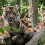 Drei Kraftpakete werden groß - </br>Junge Sumatra-Tiger im Zoo fit und munter