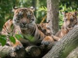 Drei Kraftpakete werden groß – </br>Junge Sumatra-Tiger im Zoo fit und munter